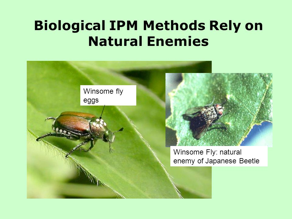 Biological IPM Methods Rely on Natural Enemies Winsome Fly: natural enemy of Japanese Beetle Winsome fly eggs