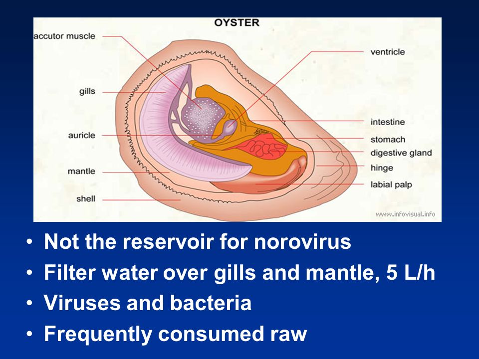 Not the reservoir for norovirus Filter water over gills and mantle, 5 L/h Viruses and bacteria Frequently consumed raw