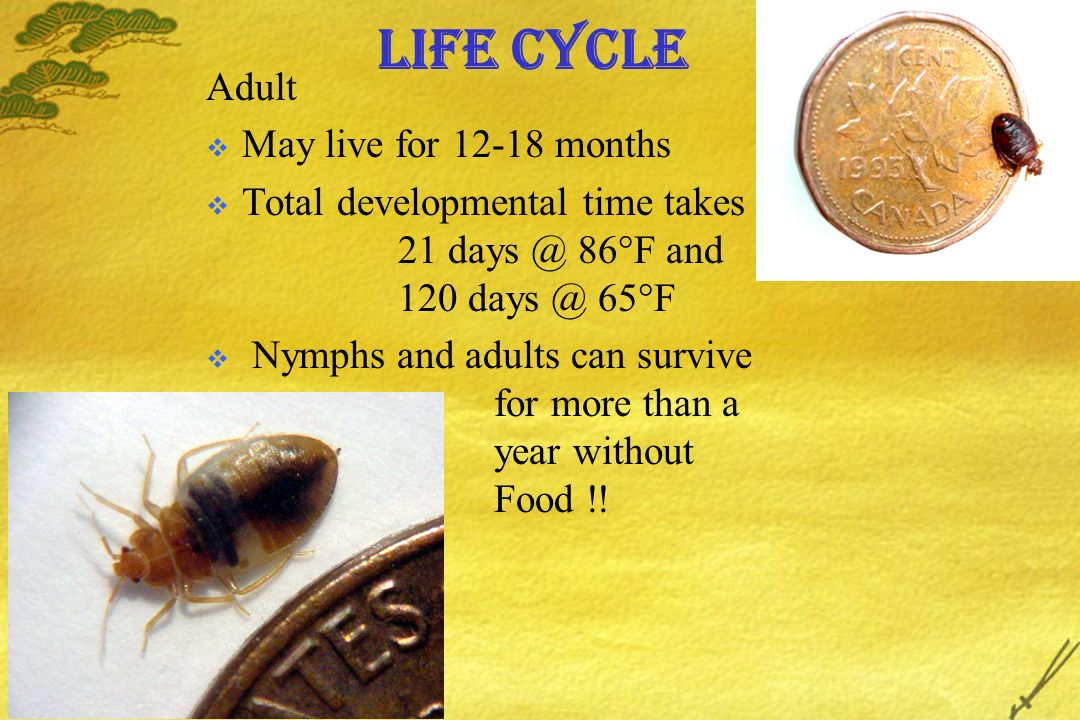 Life Cycle Adult May live for 12-18 months Total developmental time takes 21 days @ 86 F and 120 days @ 65 F Nymphs and adults can survive for more than a year without Food !!