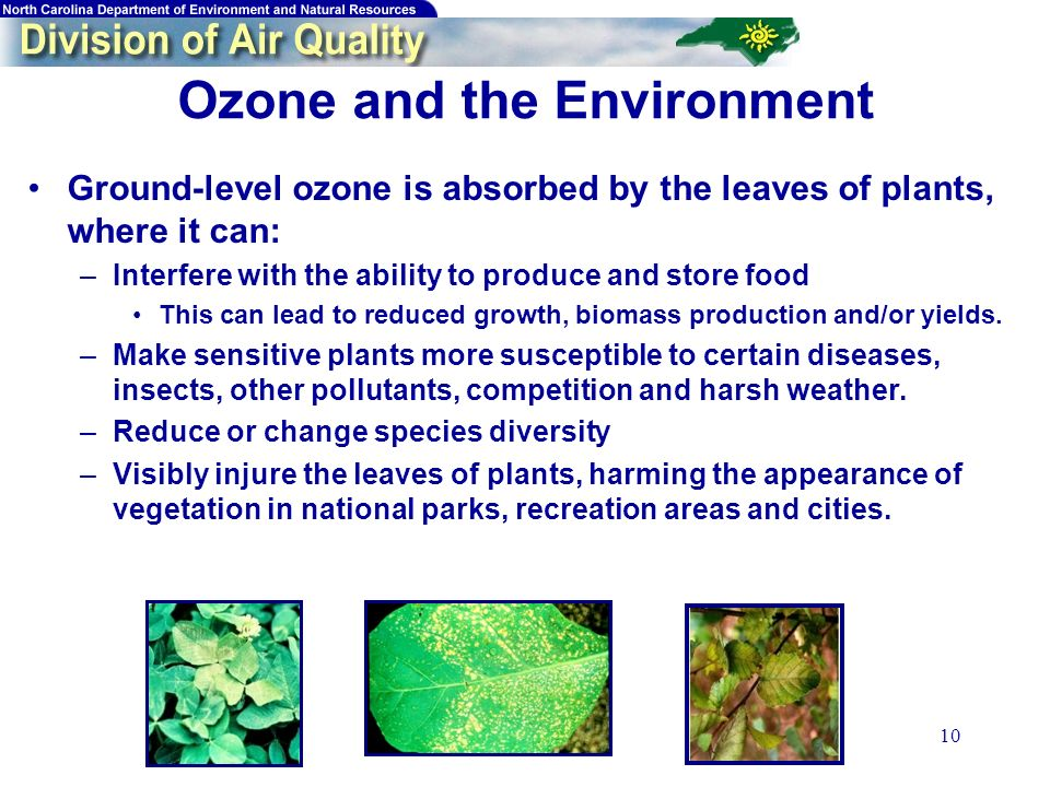 10 Ozone and the Environment Ground-level ozone is absorbed by the leaves of plants, where it can: –Interfere with the ability to produce and store food This can lead to reduced growth, biomass production and/or yields.