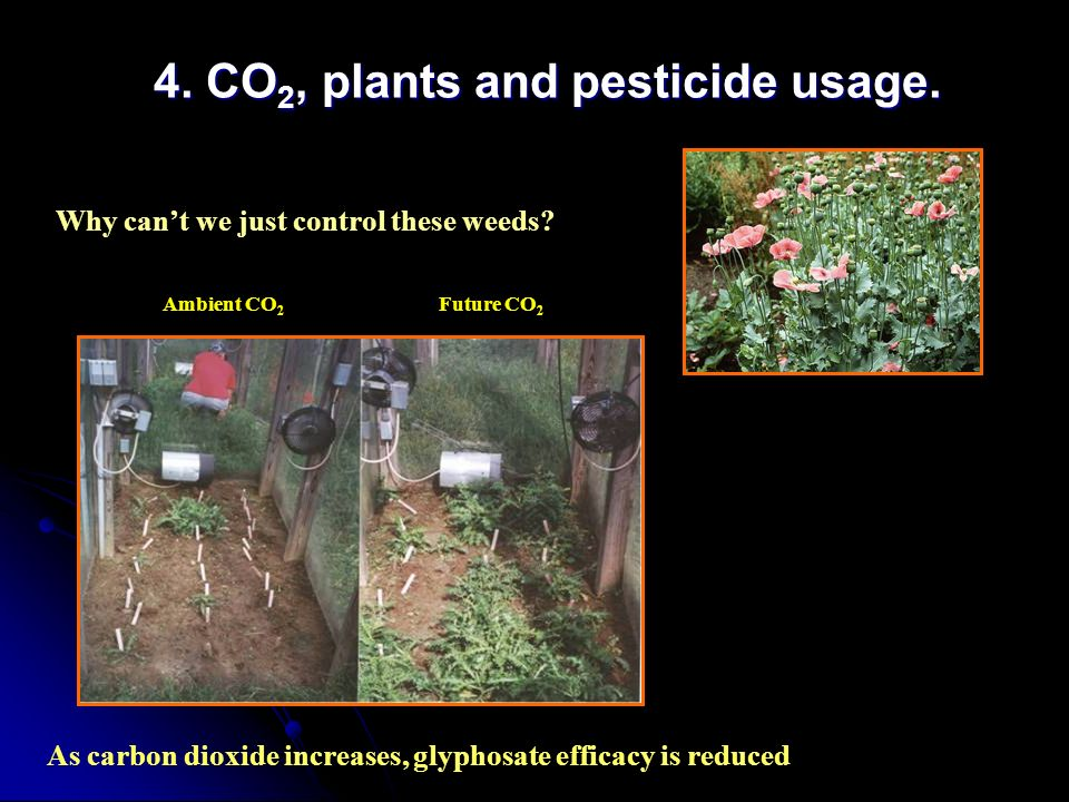 4. CO 2, plants and pesticide usage. As carbon dioxide increases, glyphosate efficacy is reduced Why cant we just control these weeds? Ambient CO 2 Fu