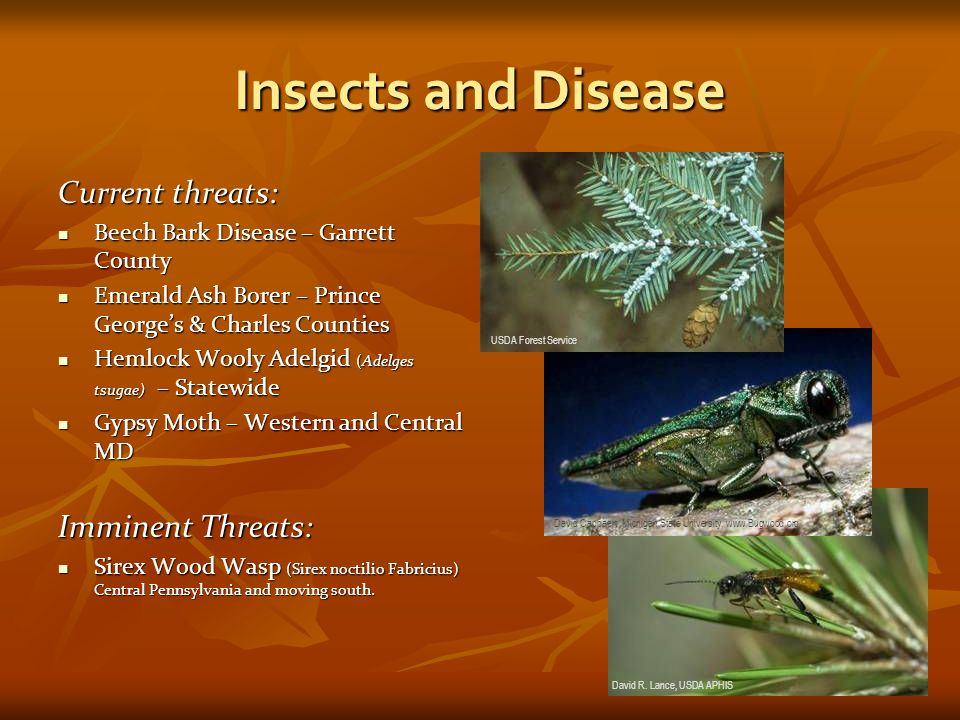 Insects and Disease Current threats: Beech Bark Disease – Garrett County Beech Bark Disease – Garrett County Emerald Ash Borer – Prince Georges & Charles Counties Emerald Ash Borer – Prince Georges & Charles Counties Hemlock Wooly Adelgid (Adelges tsugae) – Statewide Hemlock Wooly Adelgid (Adelges tsugae) – Statewide Gypsy Moth – Western and Central MD Gypsy Moth – Western and Central MD Imminent Threats: Sirex Wood Wasp (Sirex noctilio Fabricius) Central Pennsylvania and moving south.
