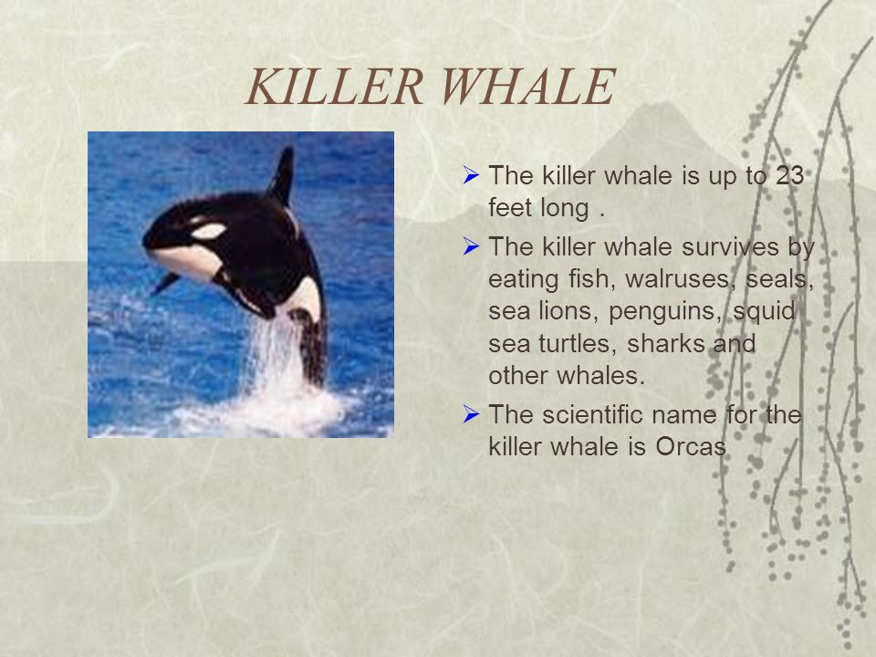 KILLER WHALE The killer whale is up to 23 feet long. The killer whale survives by eating fish, walruses, seals, sea lions, penguins, squid sea turtles