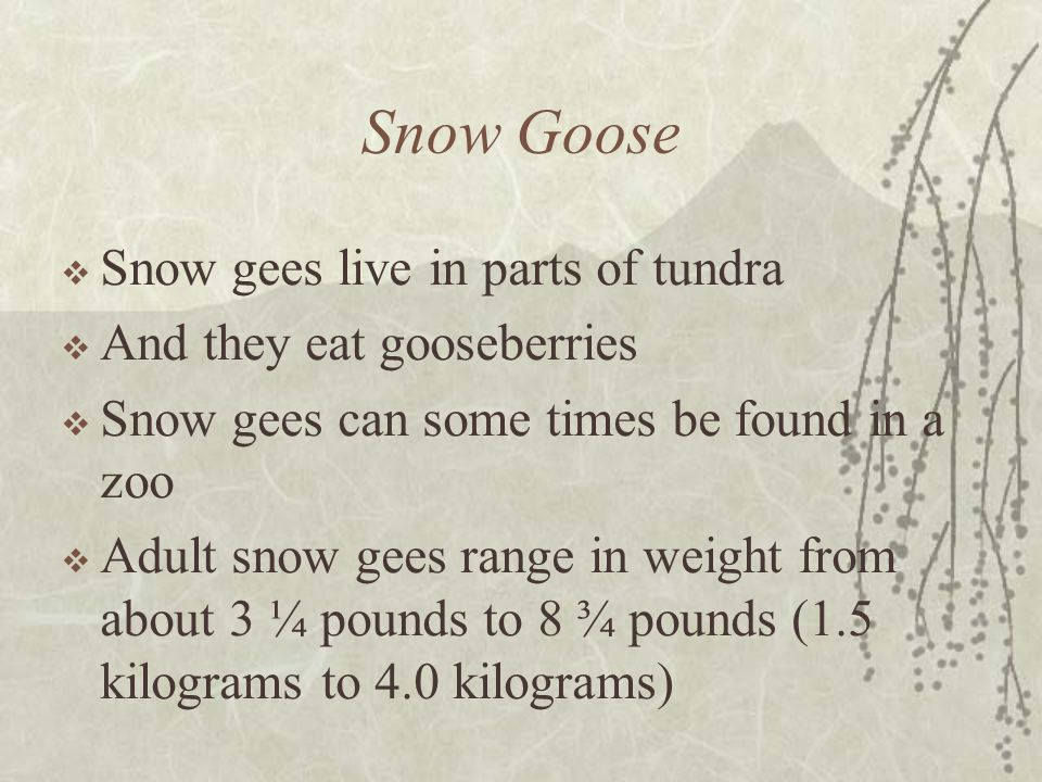 Snow Goose Snow gees live in parts of tundra And they eat gooseberries Snow gees can some times be found in a zoo Adult snow gees range in weight from