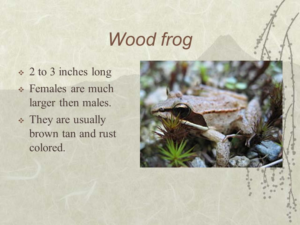 Wood frog Scientific name: Rana Sylvatica Eat a variety of small invertebrates.