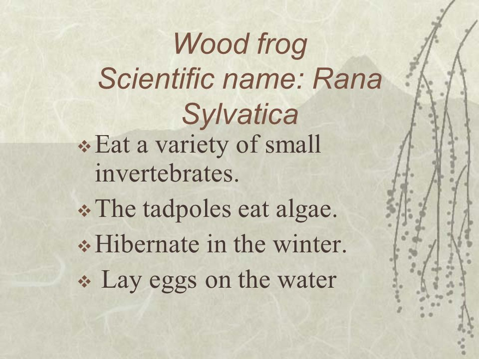 Wood frog Scientific name: Rana Sylvatica Eat a variety of small invertebrates. The tadpoles eat algae. Hibernate in the winter. Lay eggs on the water