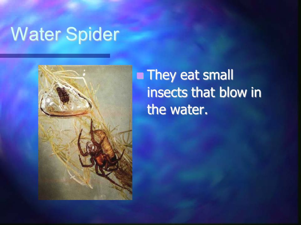 Water Spider They eat small insects that blow in the water. They eat small insects that blow in the water.