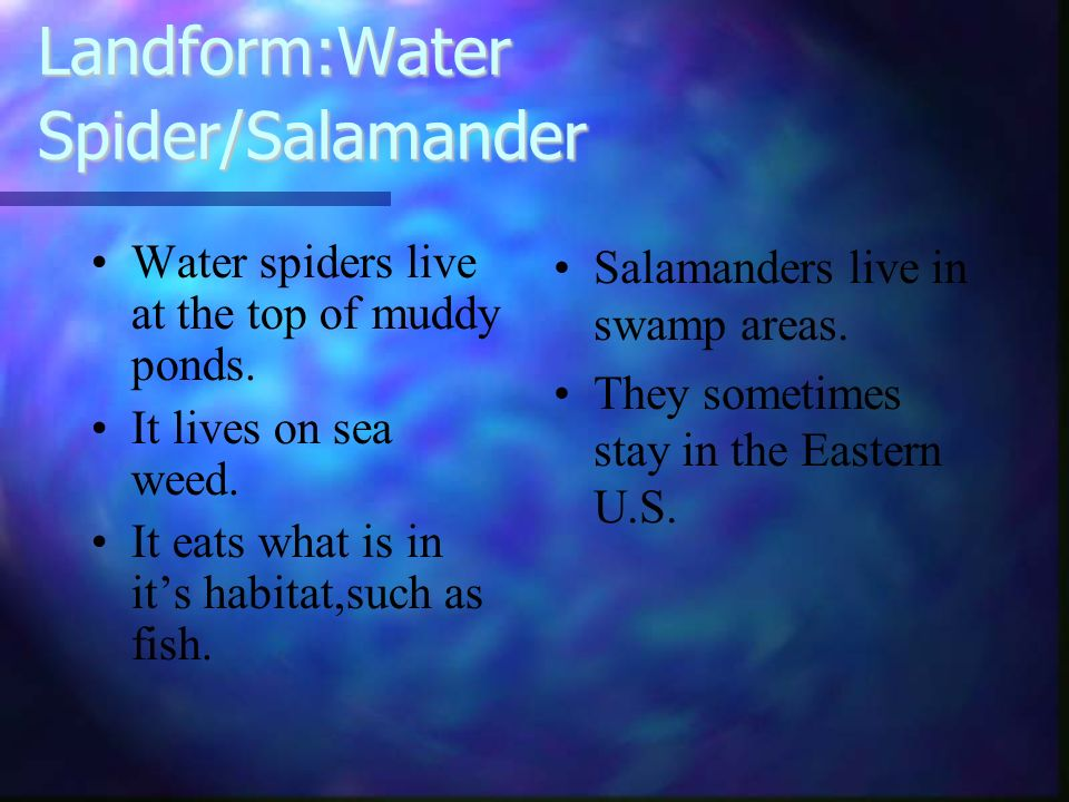 Landform:Water Spider/Salamander Water spiders live at the top of muddy ponds. It lives on sea weed. It eats what is in its habitat,such as fish. Sala