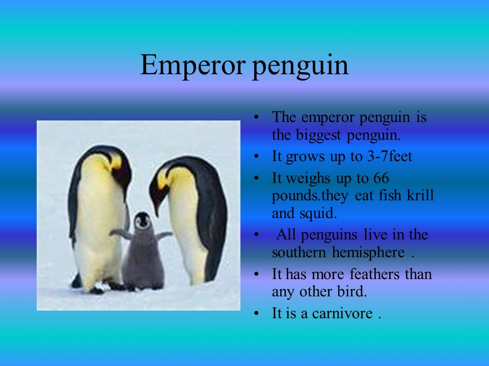Emperor penguin The emperor penguin is the biggest penguin.