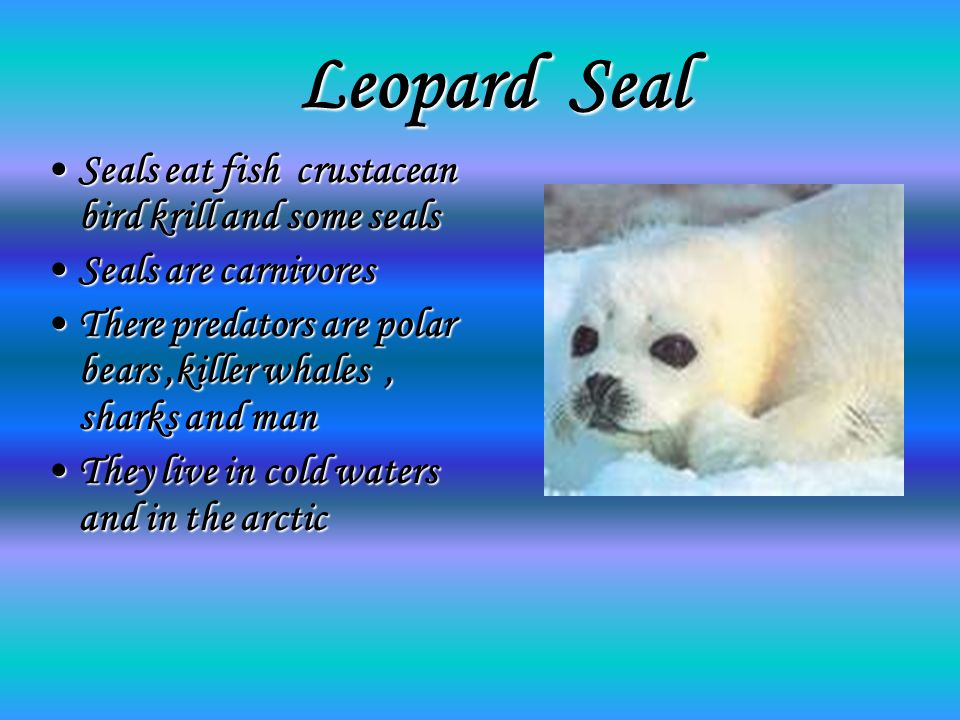 Leopard Seal Seals eat fish crustacean bird krill and some sealsSeals eat fish crustacean bird krill and some seals Seals are carnivoresSeals are carnivores There predators are polar bears,killer whales, sharks and manThere predators are polar bears,killer whales, sharks and man They live in cold waters and in the arcticThey live in cold waters and in the arctic