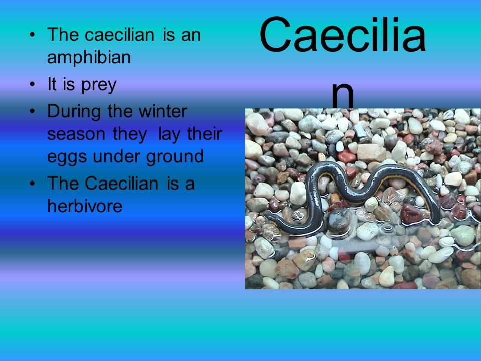 Caecilia n The caecilian is an amphibian It is prey During the winter season they lay their eggs under ground The Caecilian is a herbivore