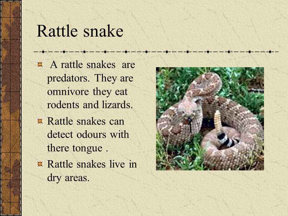 Rattle snake A rattle snake are a reptile because it lays eggs.