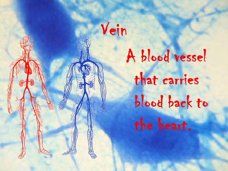 Vein A blood vessel that carries blood back to the heart.