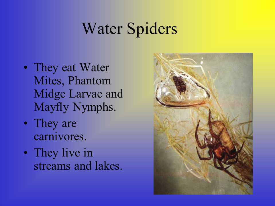 Water Spiders They eat Water Mites, Phantom Midge Larvae and Mayfly Nymphs.