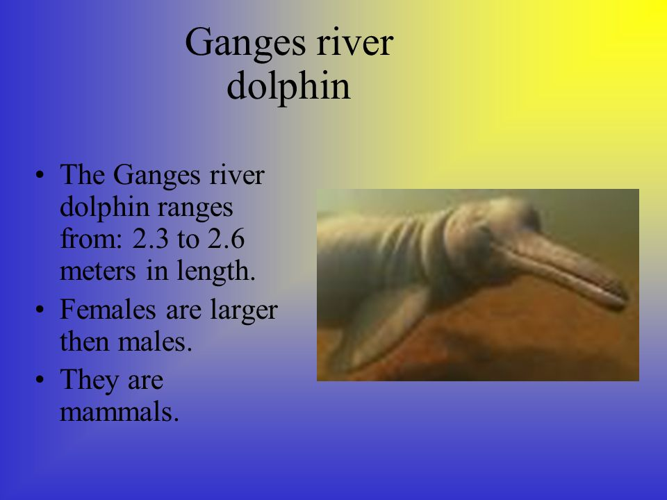 Ganges river dolphin The Ganges river dolphin ranges from: 2.3 to 2.6 meters in length.