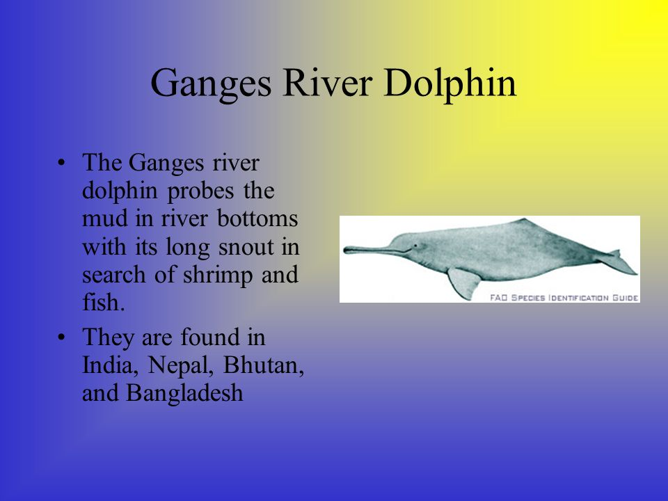 Ganges River Dolphin The Ganges river dolphin probes the mud in river bottoms with its long snout in search of shrimp and fish.