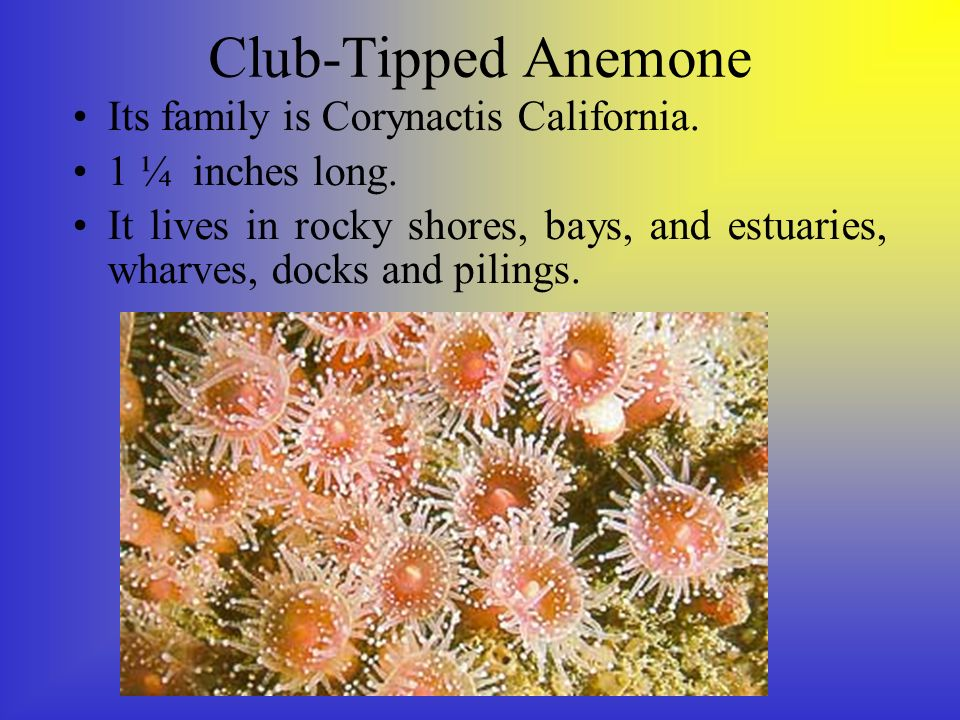 Club-Tipped Anemone Its family is Corynactis California.