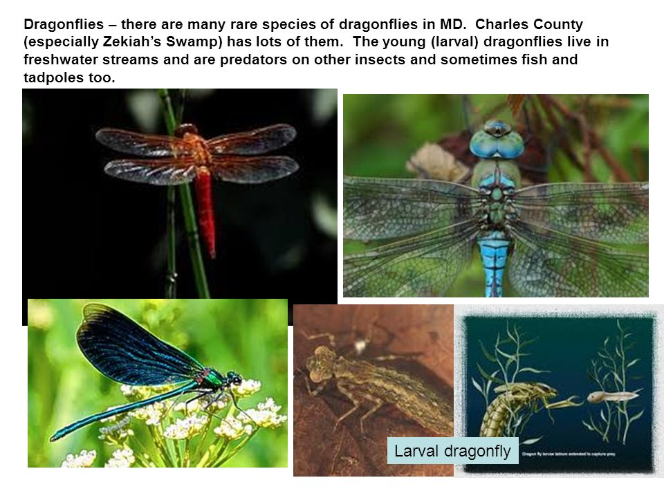 Dragonflies – there are many rare species of dragonflies in MD. Charles County (especially Zekiahs Swamp) has lots of them. The young (larval) dragonf