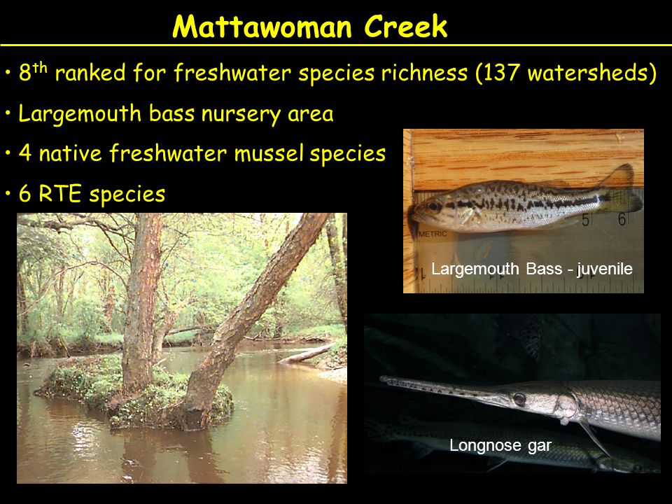 Mattawoman Creek 8 th ranked for freshwater species richness (137 watersheds) Largemouth bass nursery area 4 native freshwater mussel species 6 RTE sp
