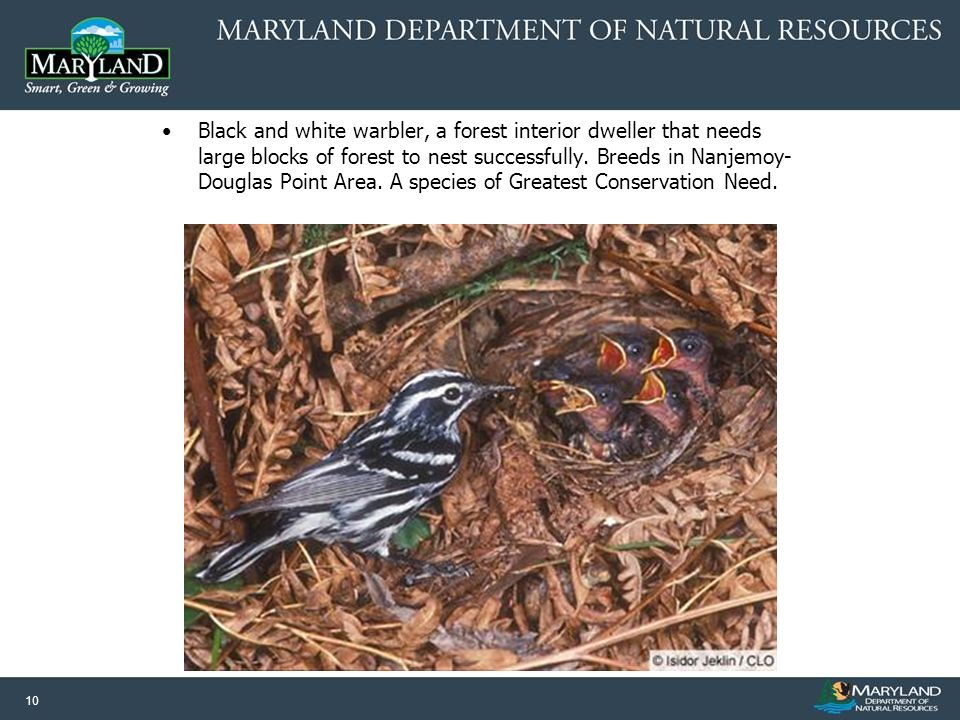 10 Black and white warbler, a forest interior dweller that needs large blocks of forest to nest successfully.