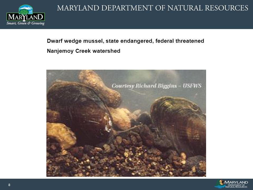 8 Dwarf wedge mussel, state endangered, federal threatened Nanjemoy Creek watershed