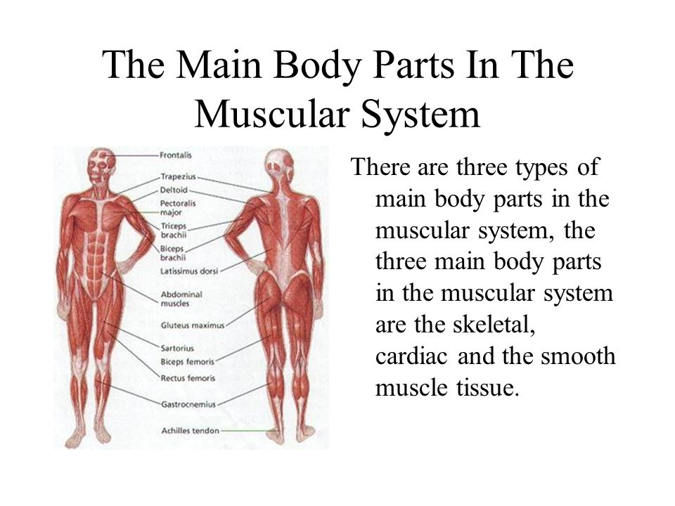 The Main Body Parts In The Muscular System There are three types of main body parts in the muscular system, the three main body parts in the muscular system are the skeletal, cardiac and the smooth muscle tissue.