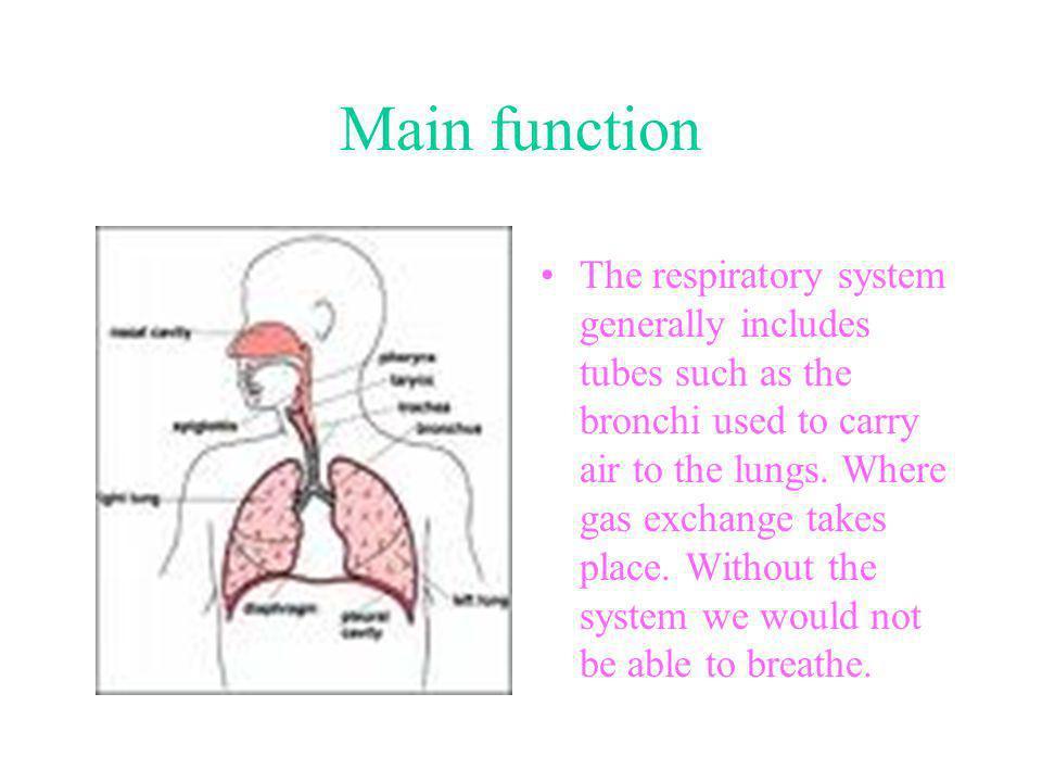 Respiratory parts Nasal cavity Nasopharynx Oropharynx Epiglottis Larynx Esophagus Trachea Right bronchus Left bronchus