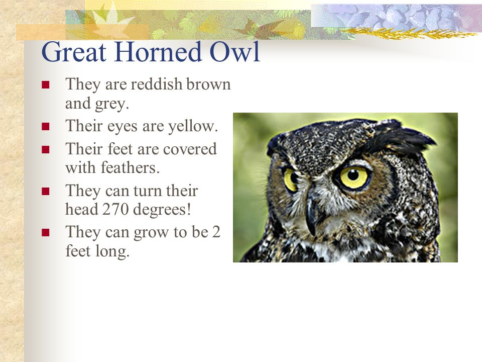 Great Horned Owl They are reddish brown and grey. Their eyes are yellow.