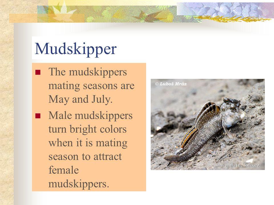 Mudskipper The mudskippers mating seasons are May and July.