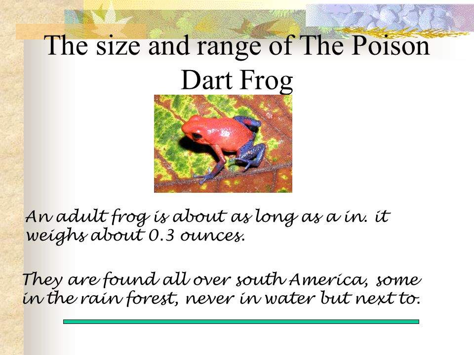 An adult frog is about as long as a in. it weighs about 0.3 ounces.