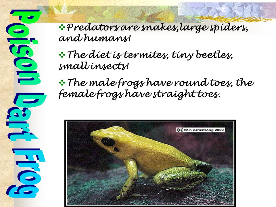 Predators are snakes,large spiders, and humans. The diet is termites, tiny beetles, small insects.