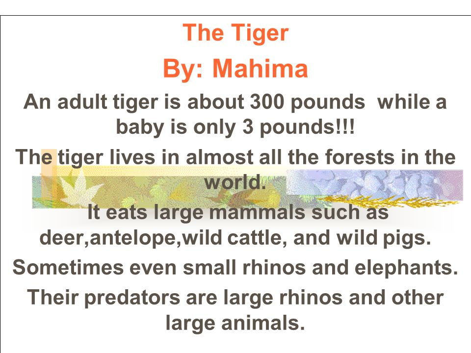 The Tiger By: Mahima An adult tiger is about 300 pounds while a baby is only 3 pounds!!.