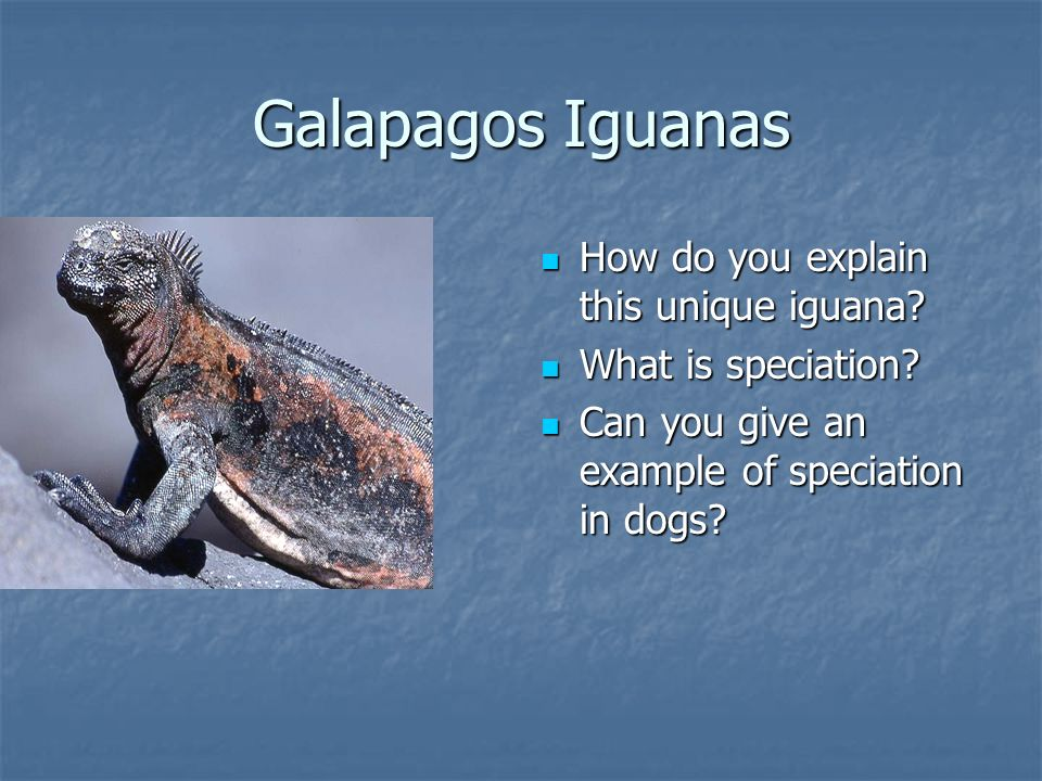 Galapagos Iguanas How do you explain this unique iguana.