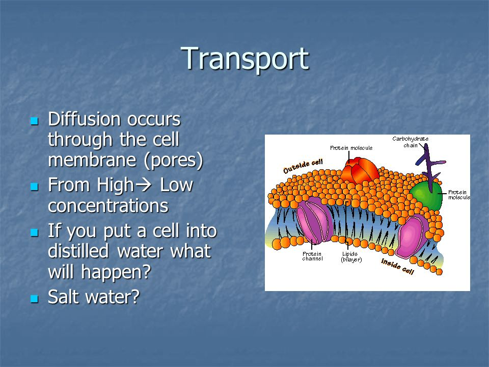 Transport Diffusion occurs through the cell membrane (pores) Diffusion occurs through the cell membrane (pores) From High Low concentrations From High Low concentrations If you put a cell into distilled water what will happen.