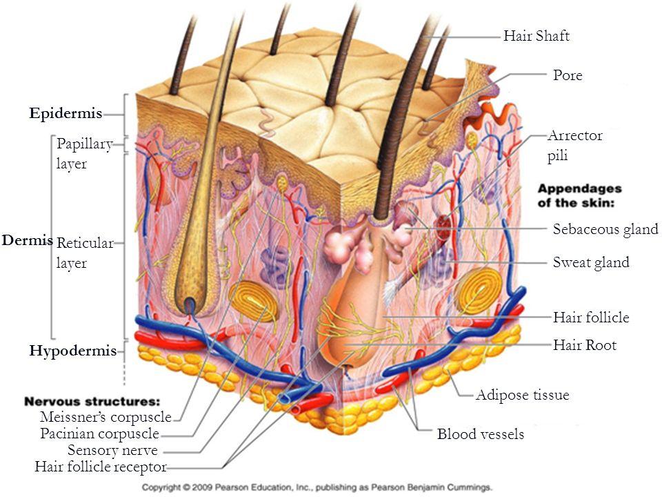 Epidermis Dermis Hypodermis Pore Papillary layer Reticular layer Hair Shaft Arrector pili Sebaceous gland Sweat gland Hair follicle Hair Root Adipose