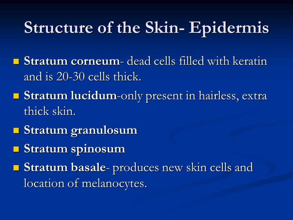 Structure of the Skin- Epidermis Stratum corneum- dead cells filled with keratin and is 20-30 cells thick. Stratum lucidum-only present in hairless, e