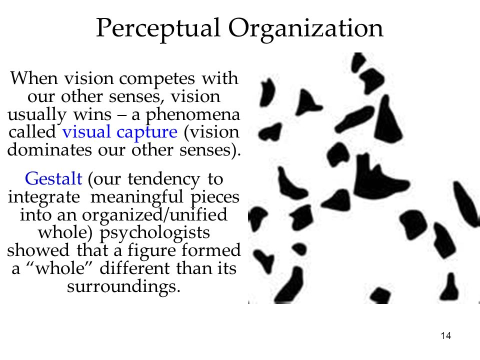 14 Perceptual Organization When vision competes with our other senses, vision usually wins – a phenomena called visual capture (vision dominates our o