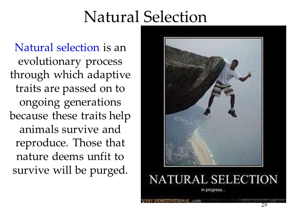 29 Natural Selection Natural selection is an evolutionary process through which adaptive traits are passed on to ongoing generations because these tra
