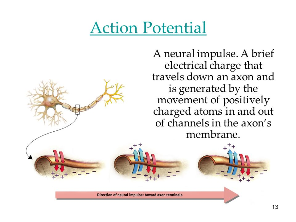 13 Action Potential A neural impulse. A brief electrical charge that travels down an axon and is generated by the movement of positively charged atoms