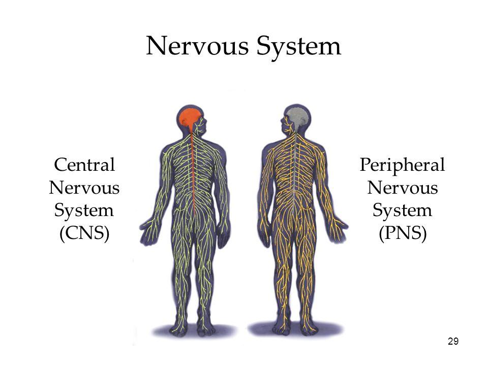 29 Nervous System Central Nervous System (CNS) Peripheral Nervous System (PNS)