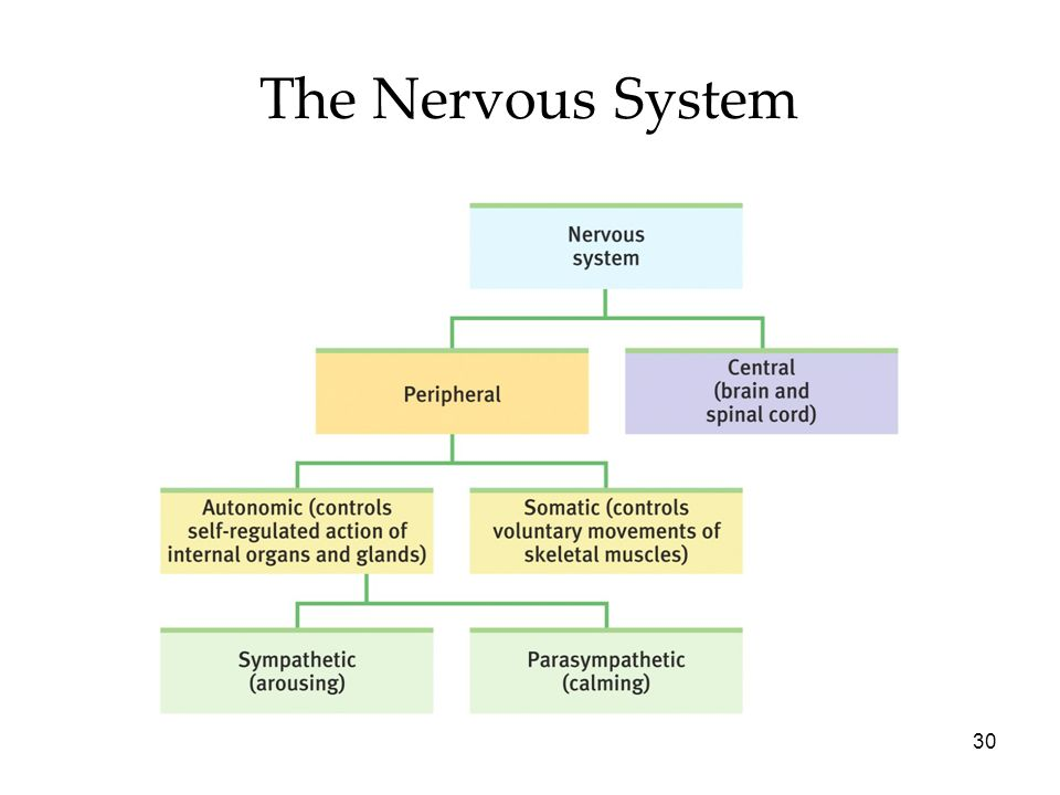 30 The Nervous System