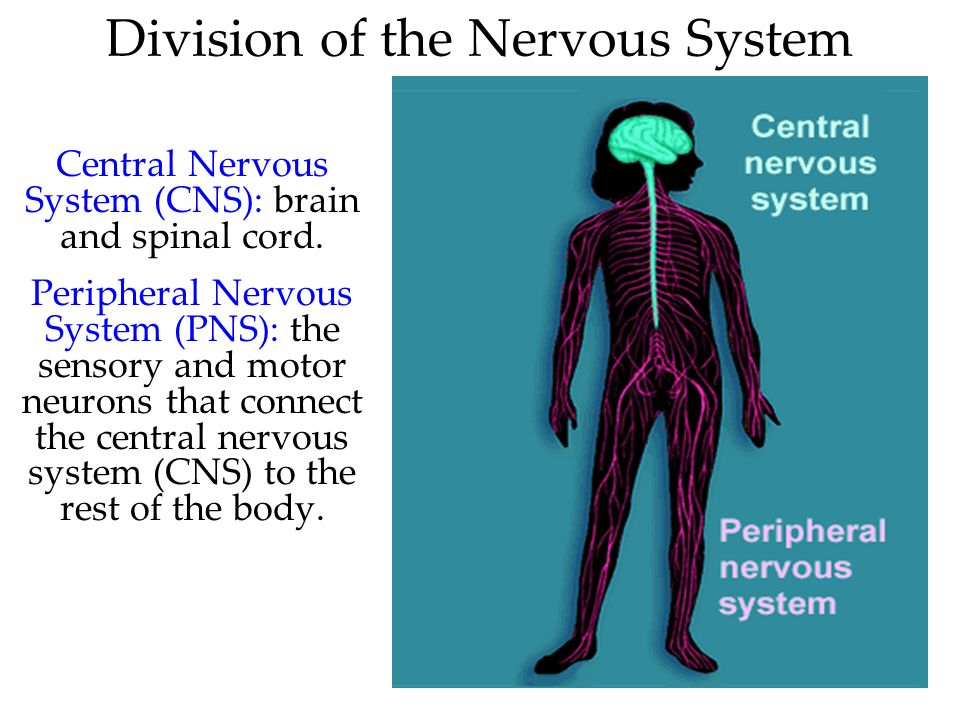 31 Division of the Nervous System Central Nervous System (CNS): brain and spinal cord. Peripheral Nervous System (PNS): the sensory and motor neurons