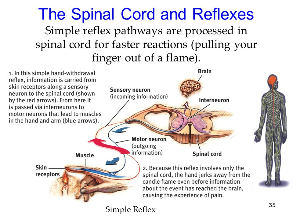 35 The Spinal Cord and Reflexes Simple reflex pathways are processed in spinal cord for faster reactions (pulling your finger out of a flame). Simple