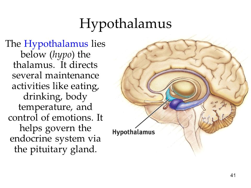 41 Hypothalamus The Hypothalamus lies below (hypo) the thalamus. It directs several maintenance activities like eating, drinking, body temperature, an