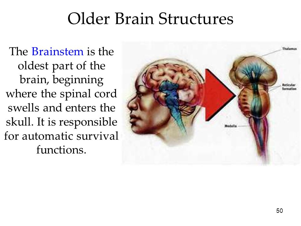 50 Older Brain Structures The Brainstem is the oldest part of the brain, beginning where the spinal cord swells and enters the skull. It is responsibl