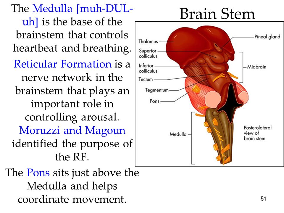 51 Brain Stem The Medulla [muh-DUL- uh] is the base of the brainstem that controls heartbeat and breathing. Reticular Formation is a nerve network in