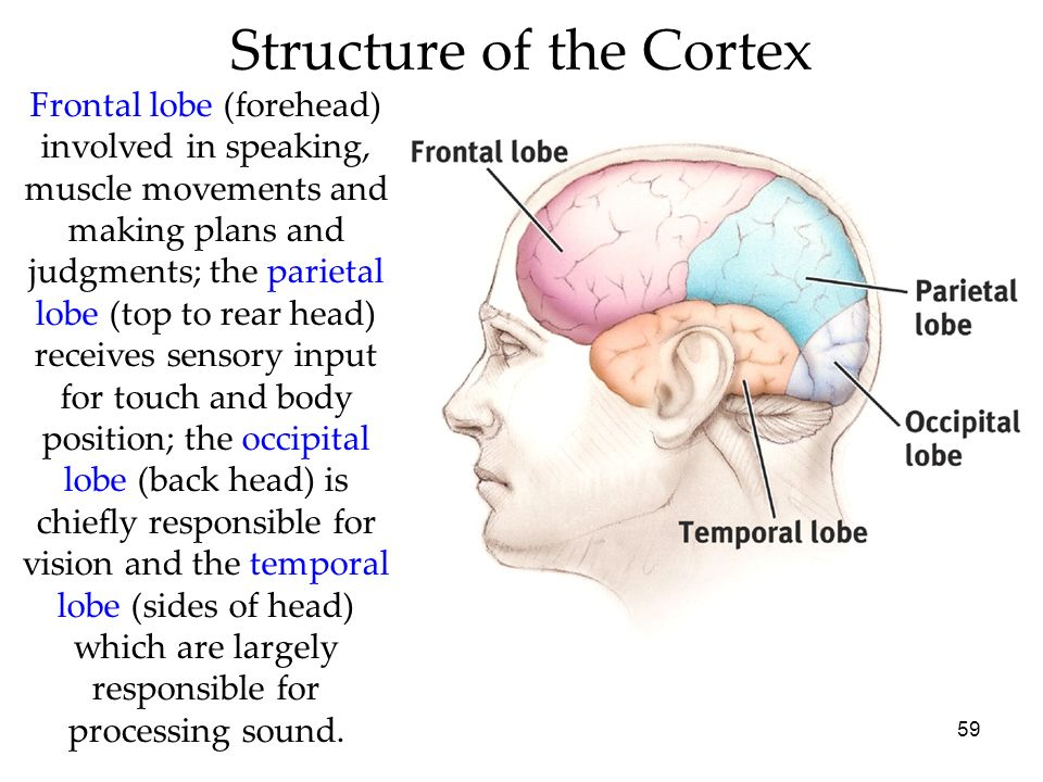 59 Structure of the Cortex Frontal lobe (forehead) involved in speaking, muscle movements and making plans and judgments; the parietal lobe (top to re