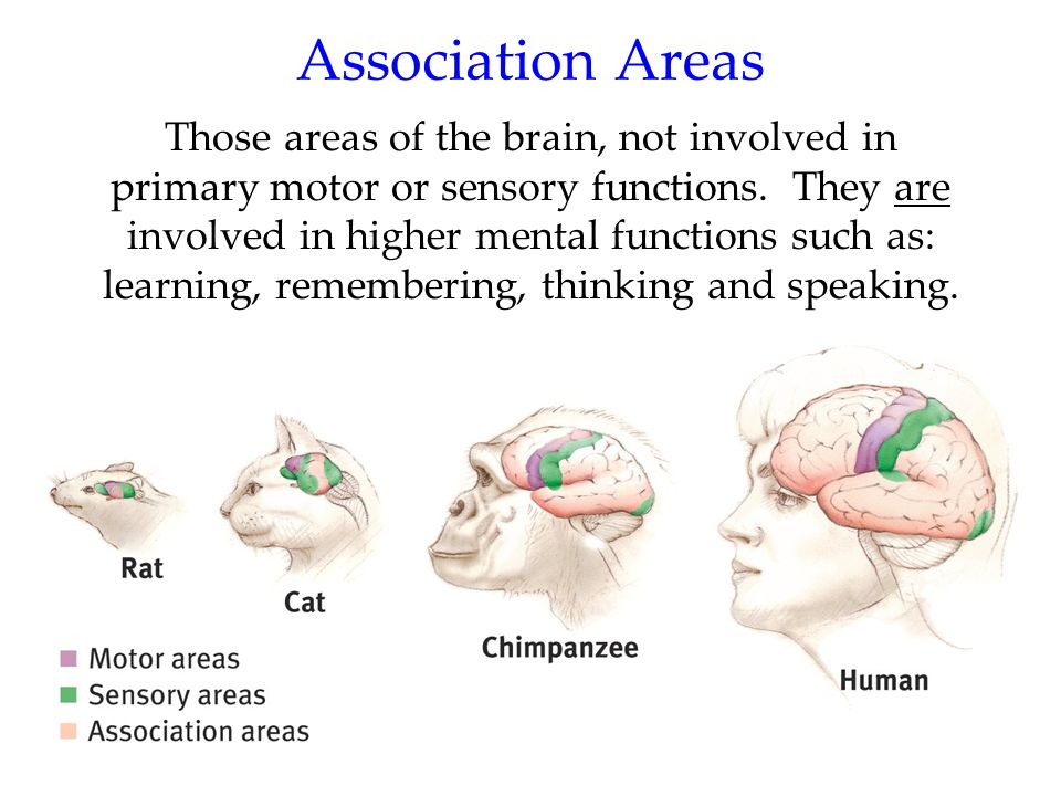 63 Those areas of the brain, not involved in primary motor or sensory functions. They are involved in higher mental functions such as: learning, remem