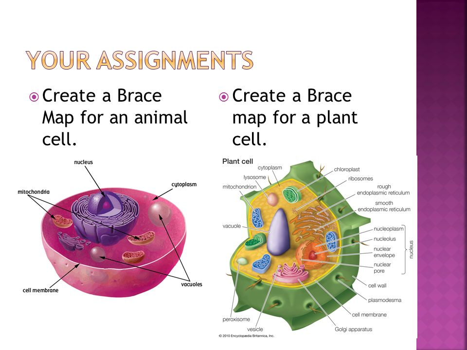 Create a Brace Map for an animal cell. Create a Brace map for a plant cell.