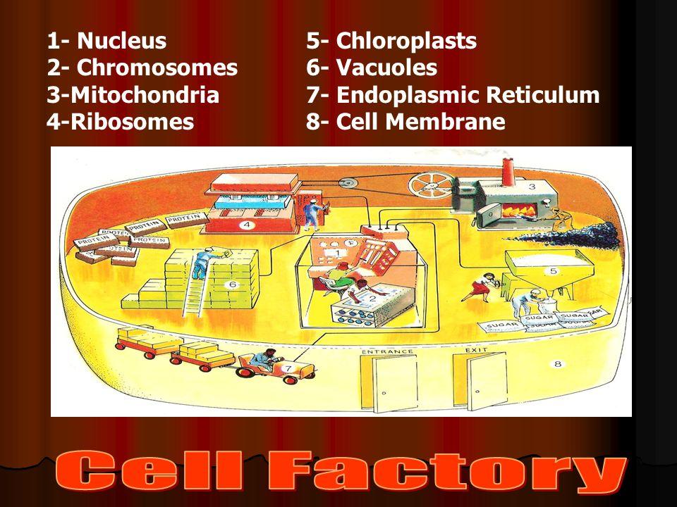 1- Nucleus 2- Chromosomes 3-Mitochondria 4-Ribosomes 5- Chloroplasts 6- Vacuoles 7- Endoplasmic Reticulum 8- Cell Membrane